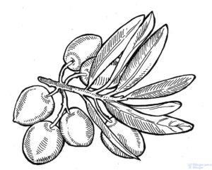 dibujos de olivos para imprimir
