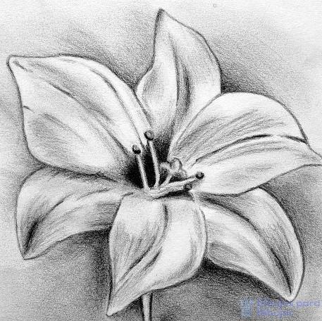 flor de azucena blanca